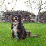 Hund Nica sitzt in der saftigen grünen Wiese am Holzplatz bzw. im Garten