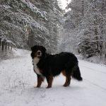 Winterspaziergang mit Hündin Nica im Wald mit viel Schnee