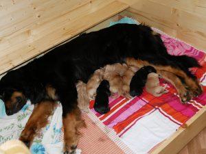 Mutter und Welpen liegen in der Wurfbox